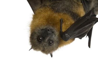 Cute-fruit-bat